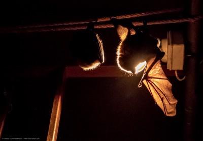 Berry Head Bat Walk